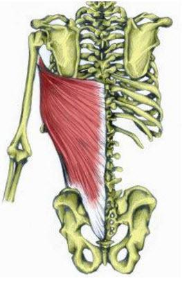 latissimus dorsi muscle on skeleton, main muscle for pull ups
